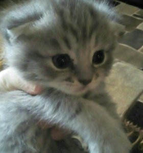 Милый веслоухий котенок