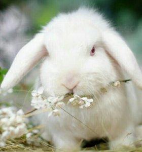 Карликовый вислоухий кролик, девочка