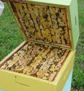 Семьи пчел среднерусской породы