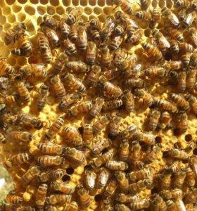 Пчёлосемьи