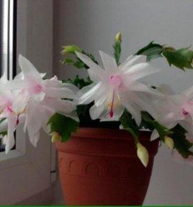 Цветок декабрист белый (отросток)