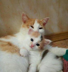 Котенок трехцветный девочка
