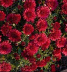 Хризантемы для посадки