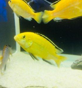 Еллоу в аквариум