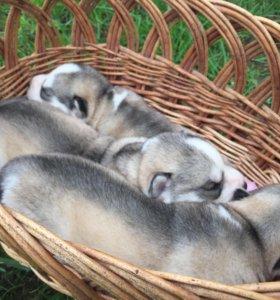 Резервирование щенков Сибирского хаски
