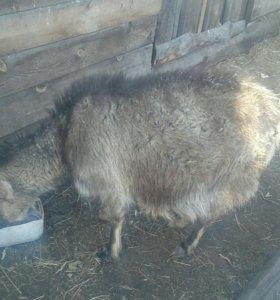 Продам коза дойная