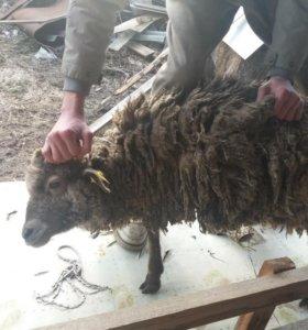 Продам  овечек и барашков(читаем описание)