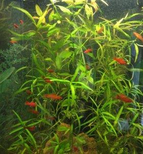 Аквариумные рыбки Меченосцы Рубиновые, Флаговые