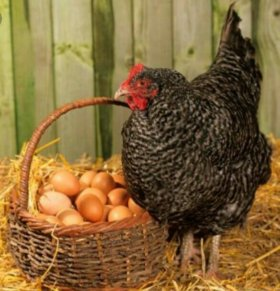 Яйцо куриное, домашнее