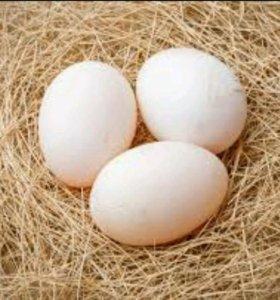 Инкубационные утиные яйца