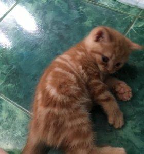 Кот окрас Красно-пятнистый