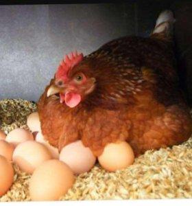 Продаются домашние куриные Яйца❗️