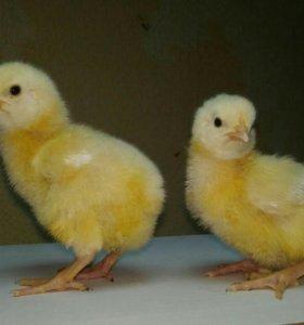 Двух недельные бролерные цыплята