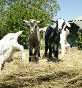 Продаю молодняк коз .