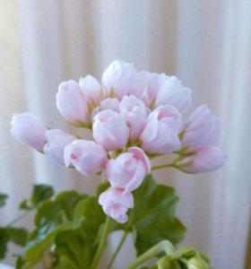Пеларгонии тюльпановидные, зонартики