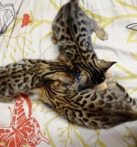 Котята бенгальской породы