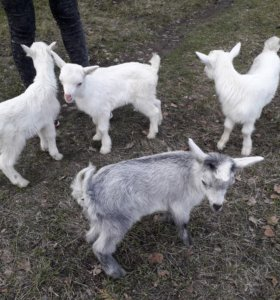 Продам породистых козлят