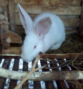 Крольчата фландер( Ризен). 2мес.