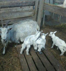 Зааненские козлята 3 мес. 🐐🐐🐐