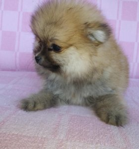 Продам двух милых щенков-померашек