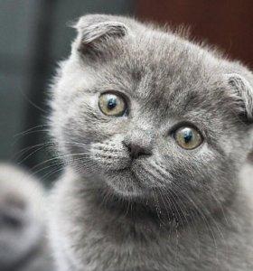 Продам шотландскую кошечку