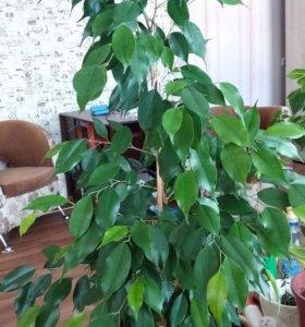 Фикус Бенджамина (крупные домашние растения)