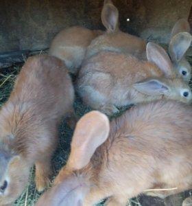 Кролики Немецкий Ризен Голд