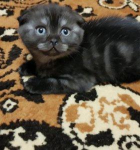 Продам шотландских котят!