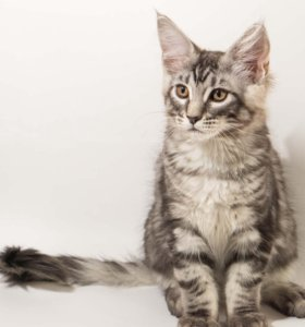 Котята мейн кун в качестве домашних любимцев