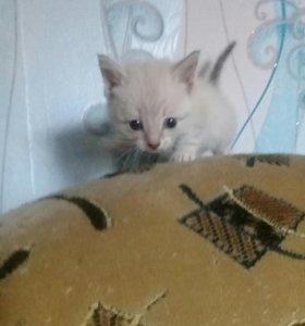 Отдам сиамских котят