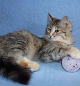 Котенок в добрые руки Лисена, кошка в дар