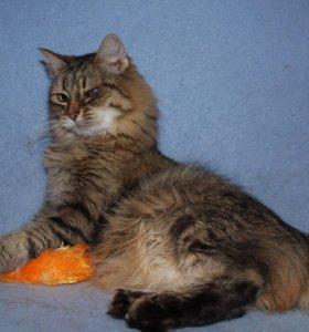 Кошка в добрые руки Ларси, кошка в дар