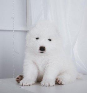 Самоед щенок мальчик