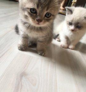 Шотландские  котята 🐱