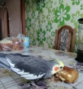 Попугай корелла говорящий