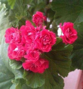 Сортовая пеларгония розовидная.Цветет розочками