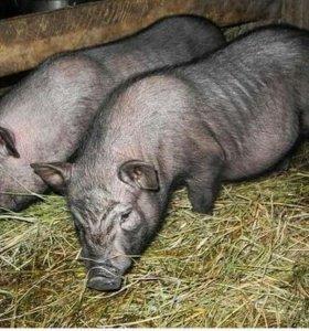 Хряк и Свинка 6 месяцев