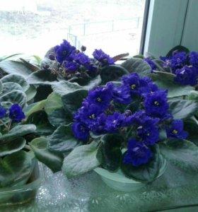 Сортовые махровые фиалки сиренево-фиолетовый цвет