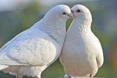 Свадебные Голуби и не только