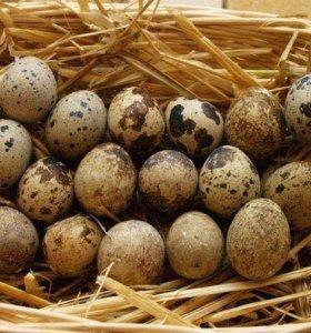 Домашнее перепелиное яйцо