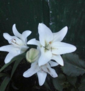 Луковицы лилии,гладиолуса.РАСПРОДАЖА