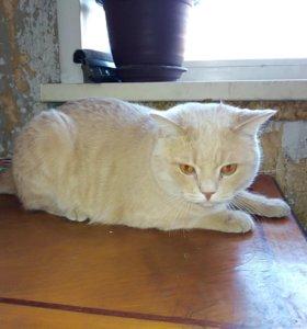 Персиковый кот 2 года кастрирован