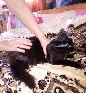 Черный кот с невероятно пушистым хвостом 10 мес
