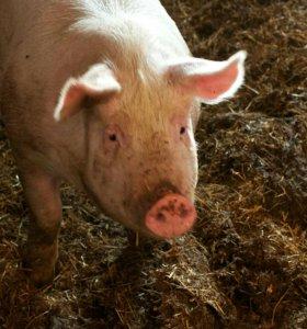 Свежее мясо свиньи