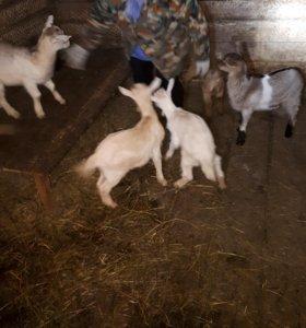 Козлята от высокоудоенных коз