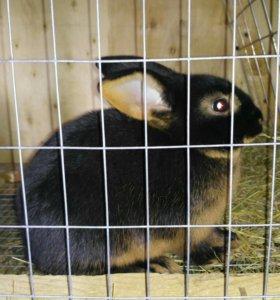 Породистые Черно-огненные кролики