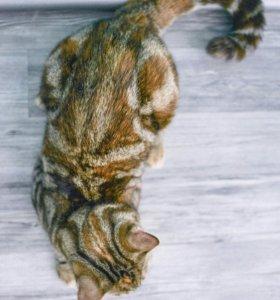 Сибирско-бенгальская кошка в заботливые руки