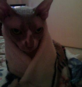 Вязка кот канадский сфинкс