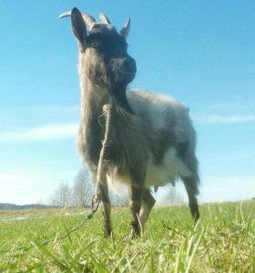 Две дойные козы и козочка 1 мес.