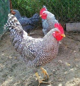 Суточные цыплята Плимутрок с инкубатора